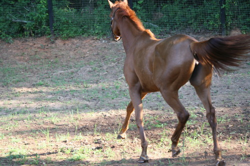 Allegiant - Chestnut Thoroughbred filly