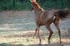 Allegiant - Chestnut Thoroughbred filly