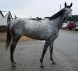 Chipawild - grey Thoroughbred prospect horse