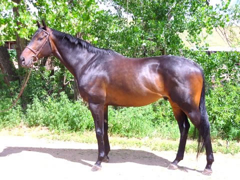 Fast Commander - 17 hand Thoroughbred Horse For Sale