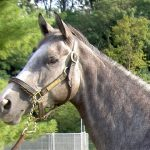 My Isabell is a grey Thoroughbred horse for sale