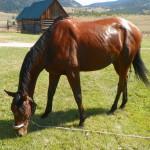 Tillo - OTTB living in Colorado
